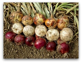 onions drying in the garden