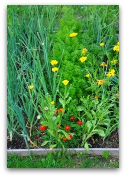 growing parsley in vegetable garden
