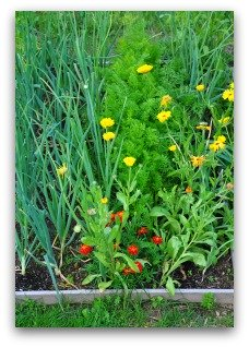 companion plant marigolds or onions to deter pests