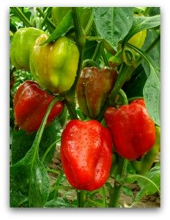 planting peppers in an ornamental garden