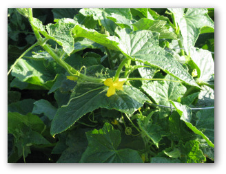 Planting Cucumbers Using Trellises And More