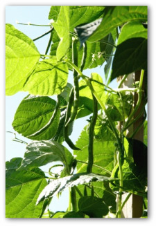 green beans growing on a pole