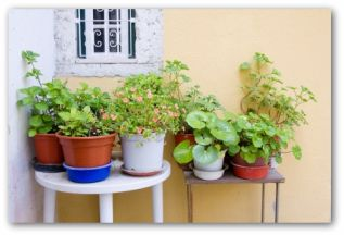 herbs growing in a potted container garden