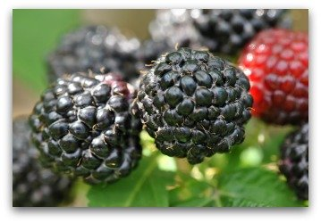 blackcaps or black raspberries