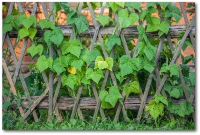 vertical vegetable gardening with a trellis