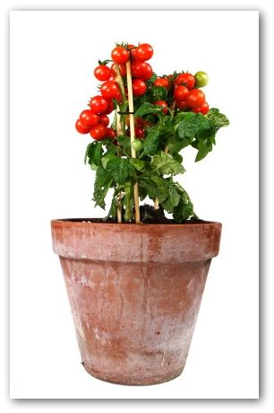 cherry tomato growing in a clay pot