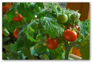 healthy growing tomato plants