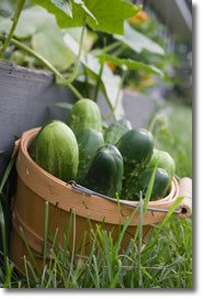 freshly picked cucumbers in a basket