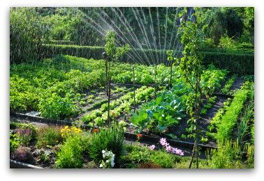 sprinkler watering a vegetable garden
