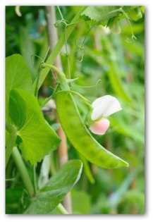 when to plant peas